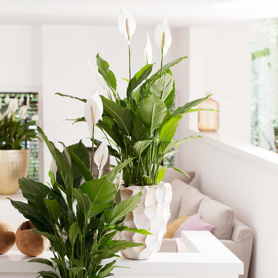 Zimmerpflanzen Groß für eine gesunde atmosphäre garten center meier