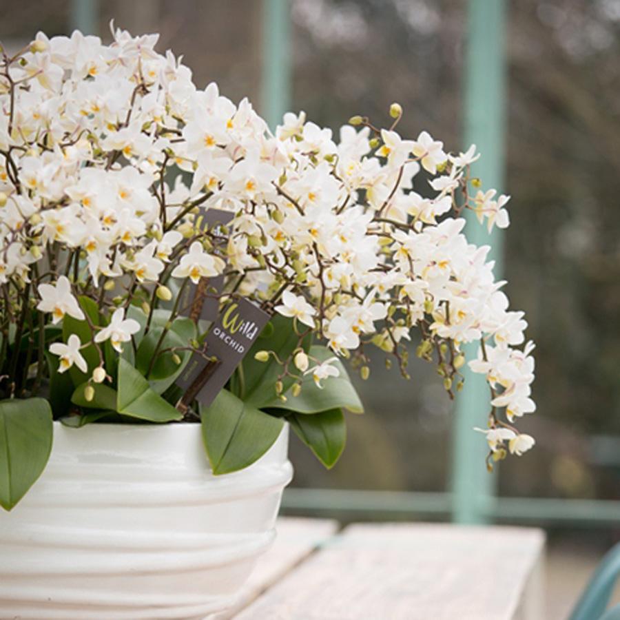 Wyss Gartencenter Zuchwil Orchideen